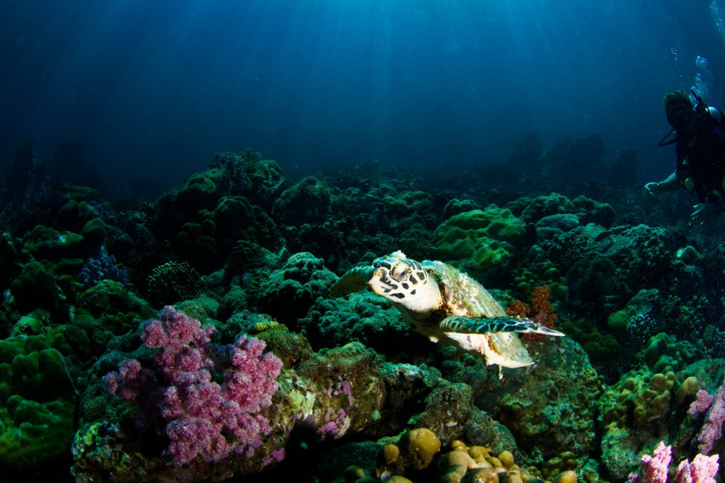 Underwater in the ocean. Turtle swimming above corals.